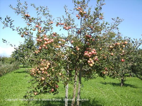 helmut m ller alte apfelsorten birnen pflaumensorten hochstammobst bio obst organic apples. Black Bedroom Furniture Sets. Home Design Ideas